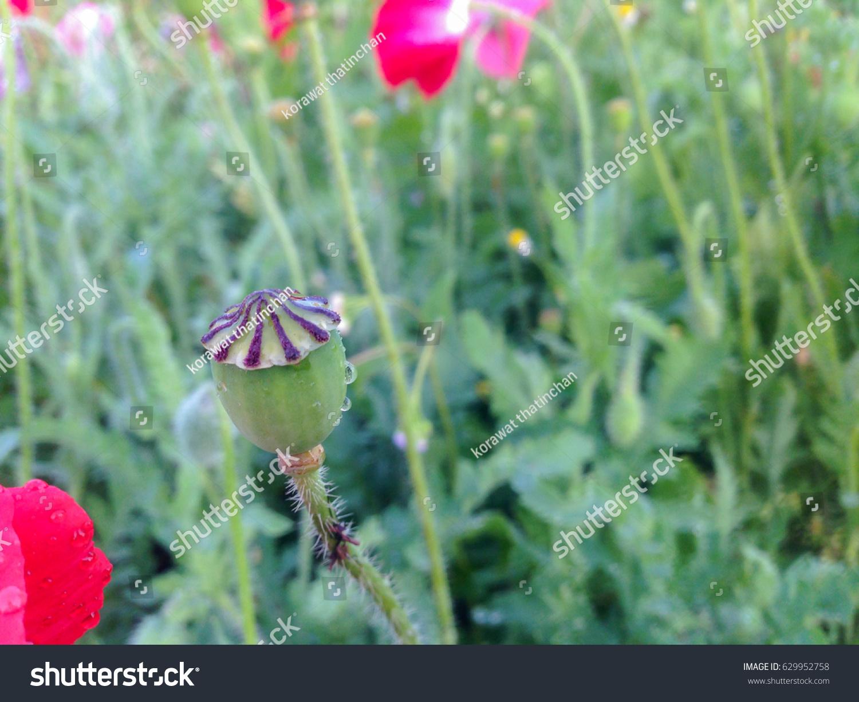 Opium Poppy Flowers Stock Photo Royalty Free 629952758 Shutterstock