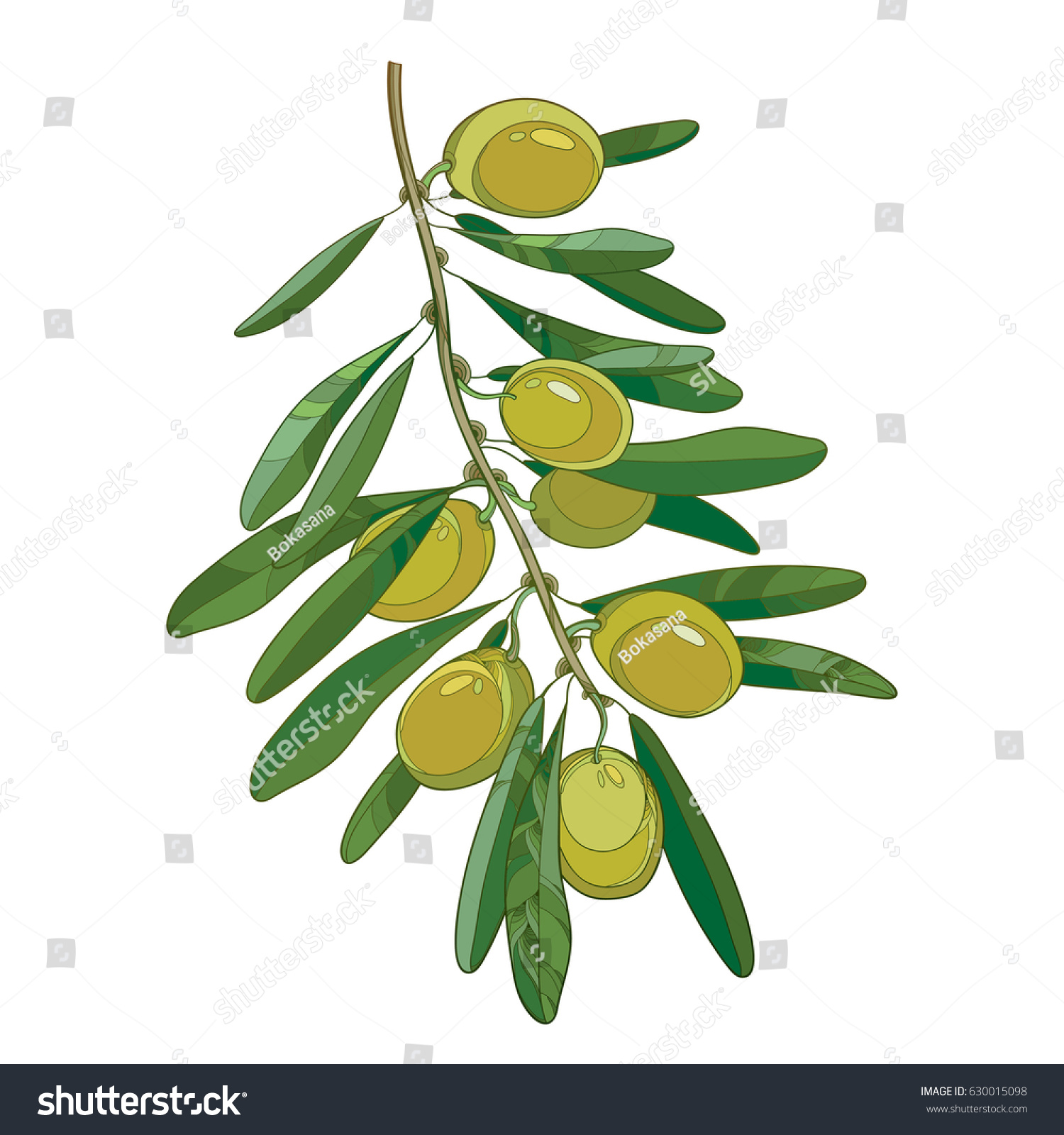 Vector Bunch Outline Green Olive Unripe Stock Vector HD (Royalty ...