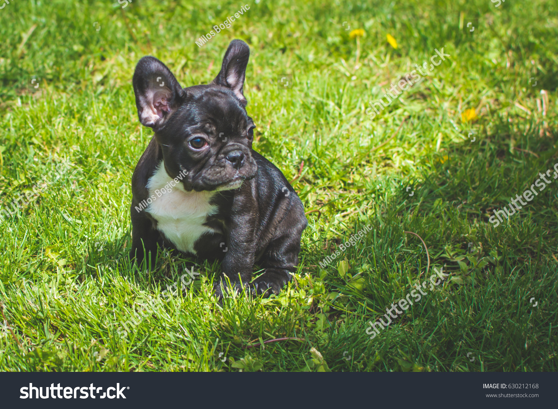 French Bulldog Puppy Frenchie Stock Photo Edit Now 630212168