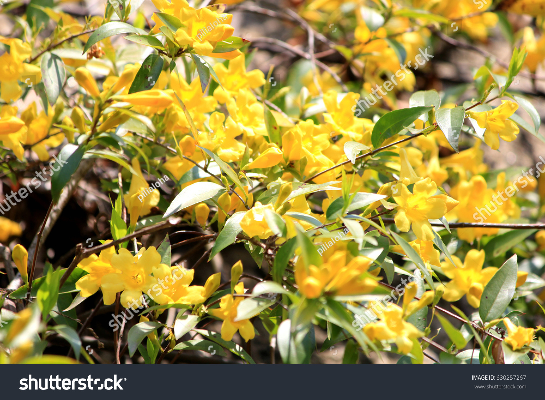 Carolina jasmine flower garden stock photo edit now 630257267 carolina jasmine flower garden izmirmasajfo