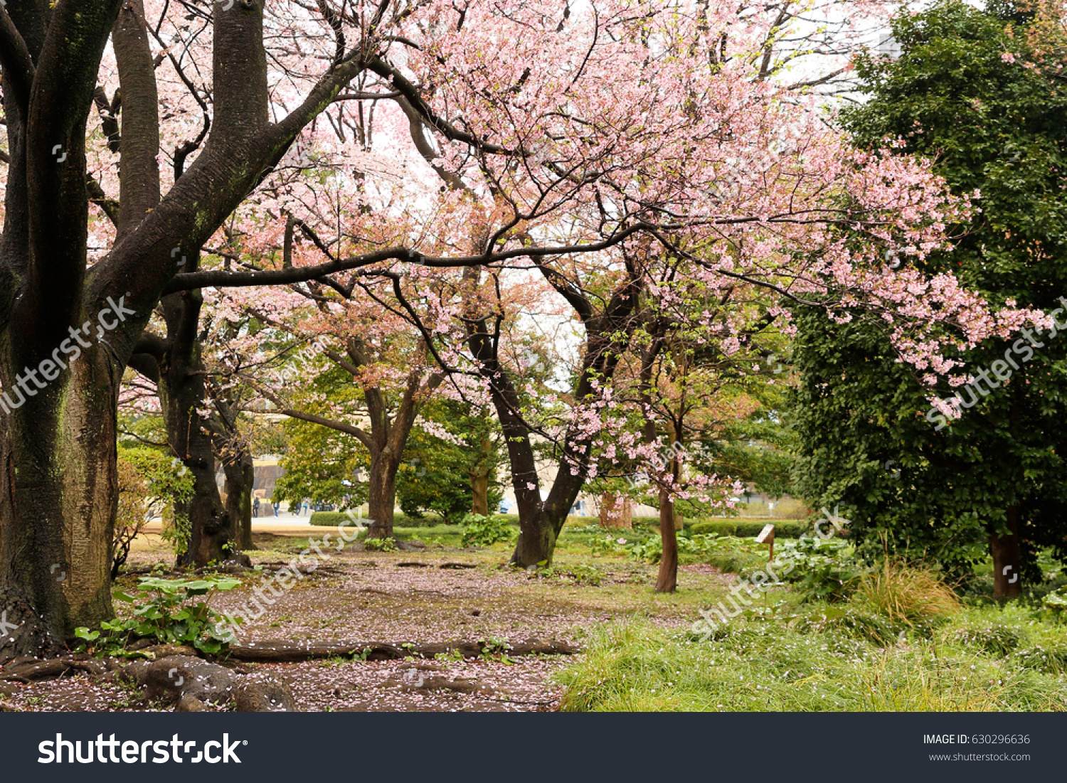 Cherry Blossom at Imperial East Garden, Tokyo, Japan. The Imperial ...