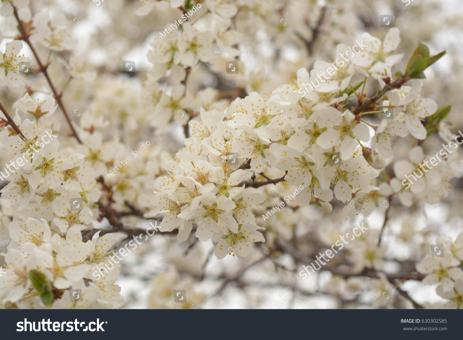 Trees White Flowers Spring Apricot Plums Sky Ez Canvas