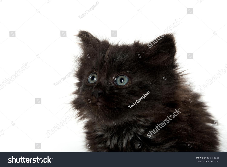Cute Black Kitten Long Hair Stock Shutterstock