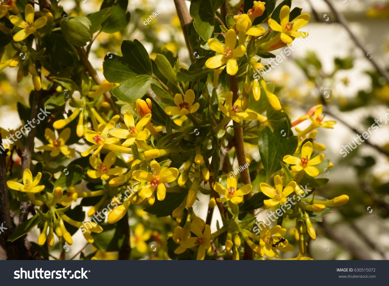 Currant Blossoms Blackcurrent Ribes Nigrum Ez Canvas