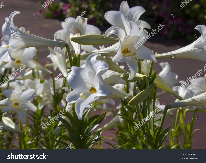 Glorious lilium candidum madonna lily plant stock photo safe to use glorious lilium candidum madonna lily a plant in the genus lilium one of the true izmirmasajfo