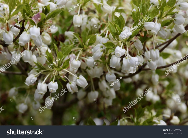 Enkianthus Serrulatus Giant White Enkianthus Pretty Stock Photo