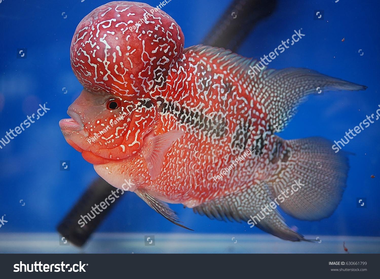 Flower Horn Fish Show Aquarium Stock Photo (Royalty Free) 630661799 ...