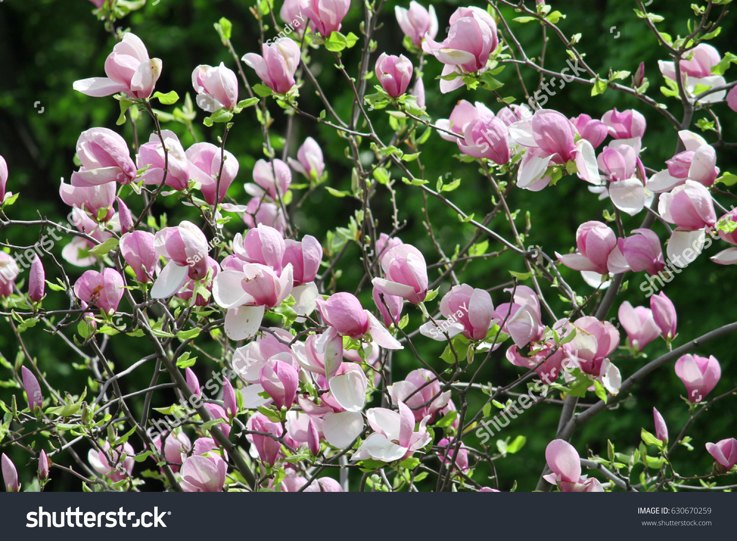 Blooming Magnolia Bush Spring Stock Photo Edit Now 630670259