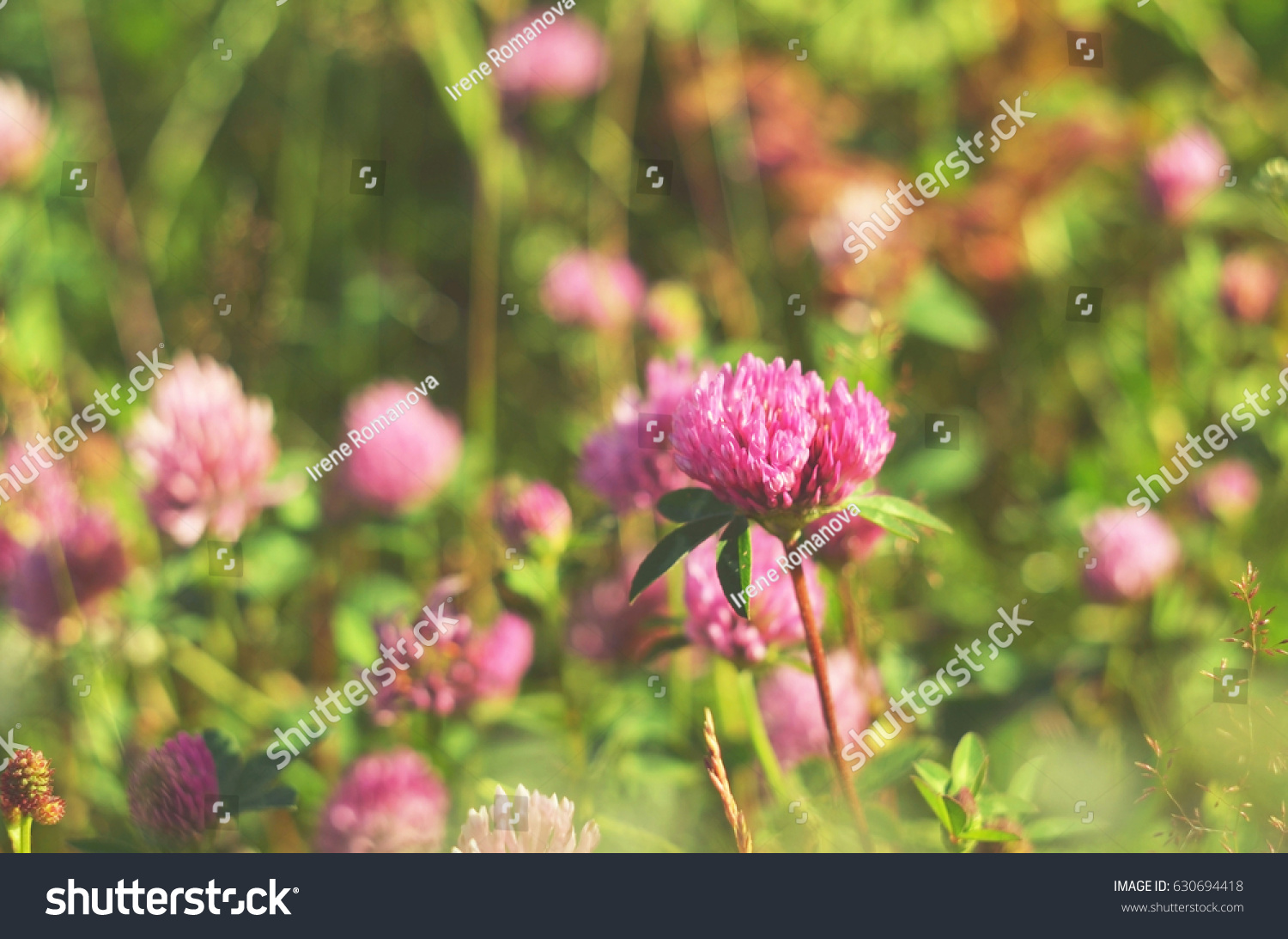 Pink Clover Flowers On Meadow Soft Stock Photo Royalty Free