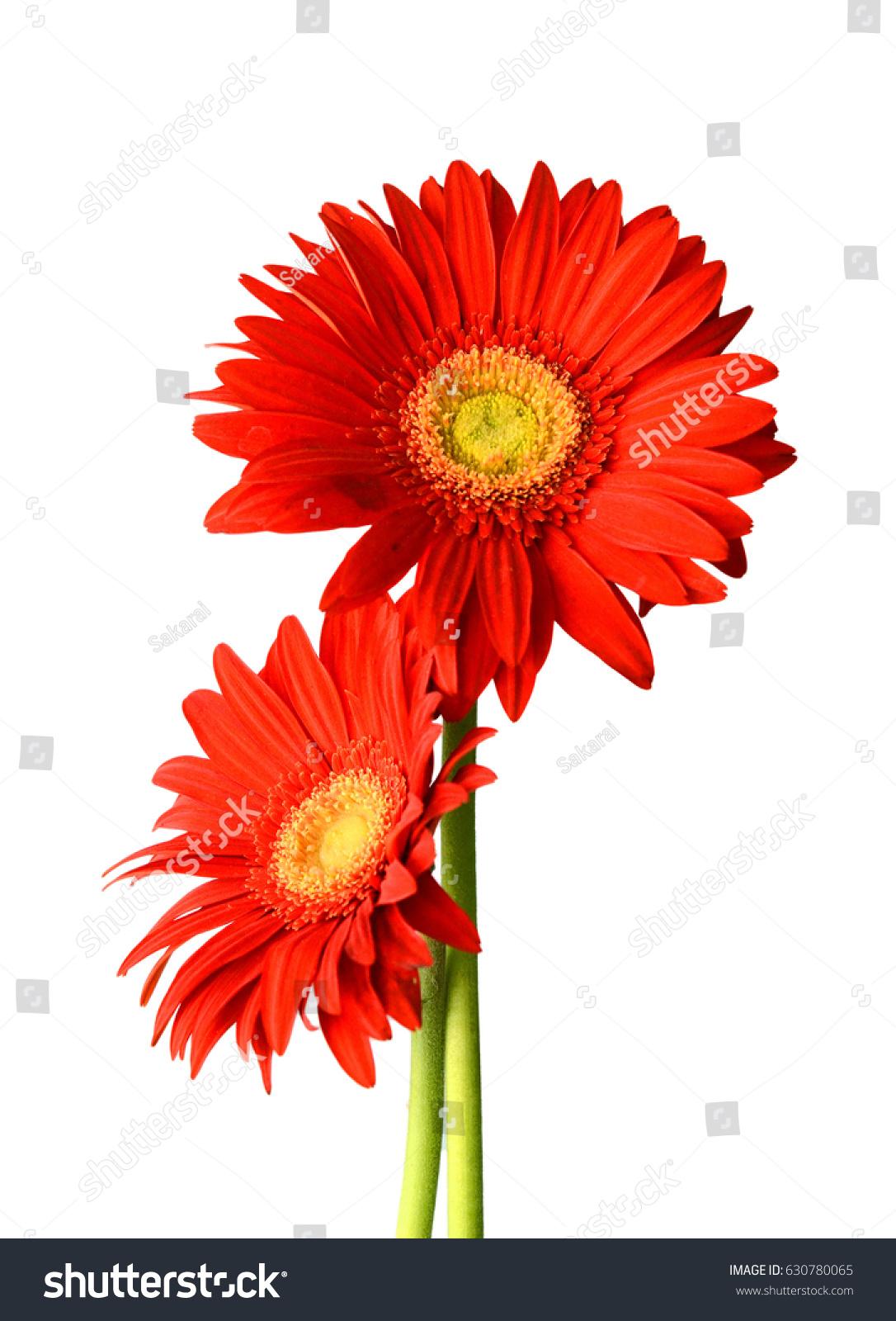 Red daisy gerbera flower on white ez canvas id 630780065 izmirmasajfo