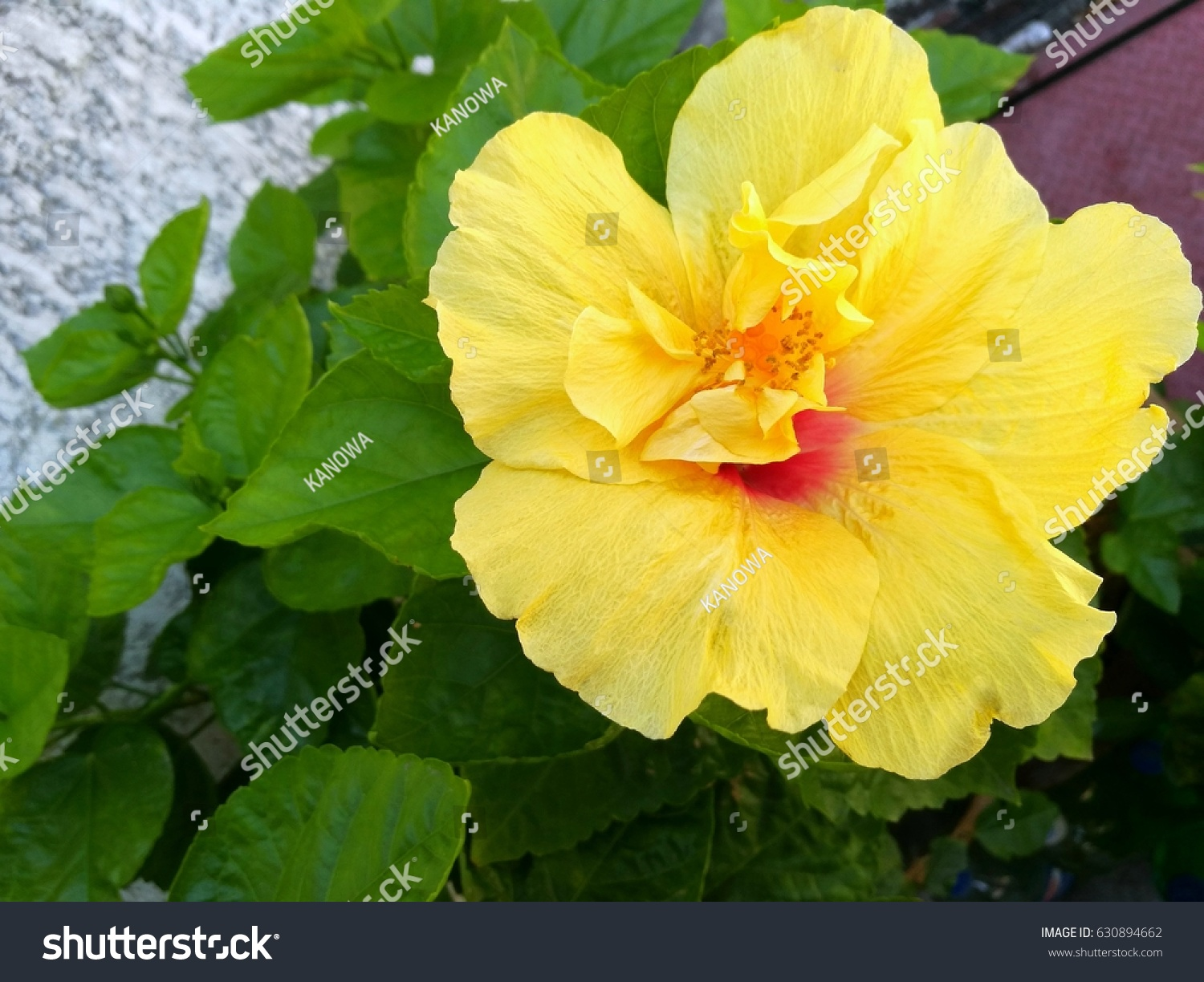 Hibiscus Yellow Flower On Leaves Green Backgroundtop View Ez Canvas
