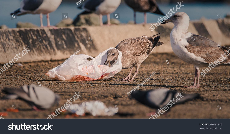 En hungrig mås finner sig själv med en plastpåse runt halsen när man rensar efter mat i mänsklig kull.
