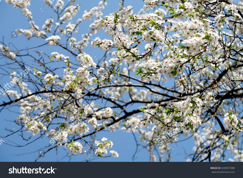 Flowering Of Fruit Trees White Flowers Ez Canvas