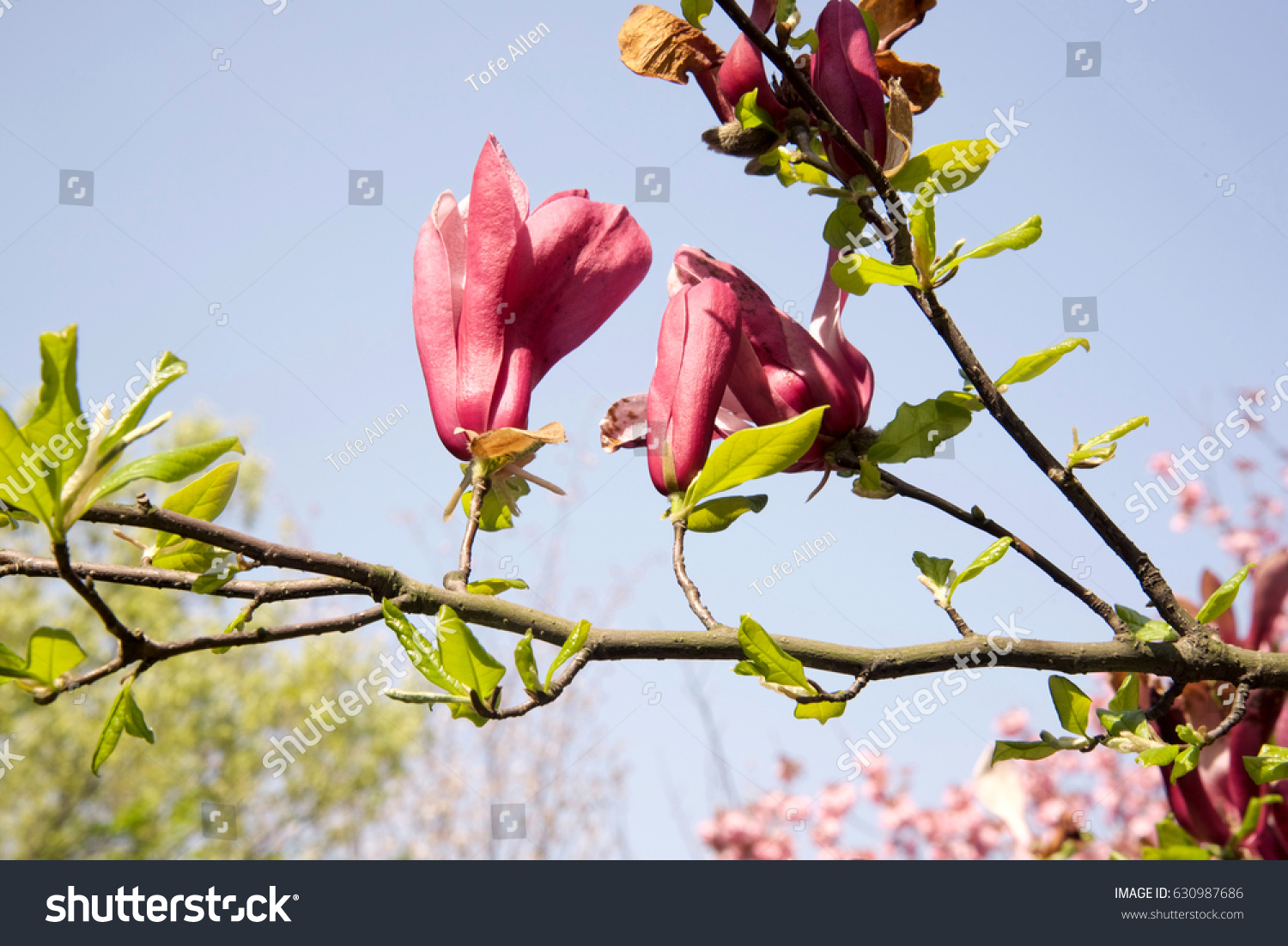Beautiful Spring Flowers Japan Stock Photo Royalty Free 630987686
