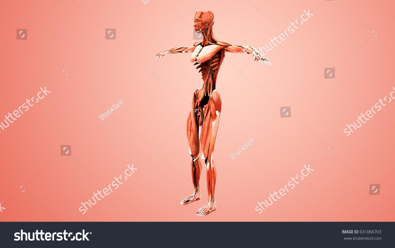 human muscle anatomy 3d illustration | EZ Canvas