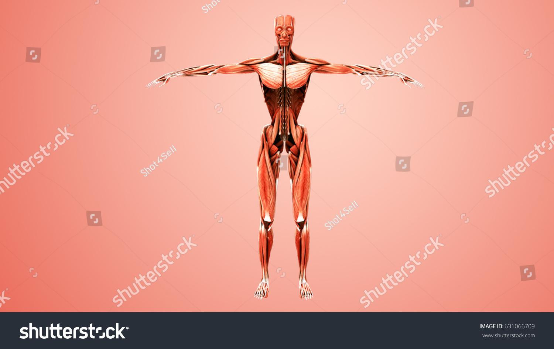 Human Muscle Anatomy 3 D Illustration Stock Illustration 631066709 ...