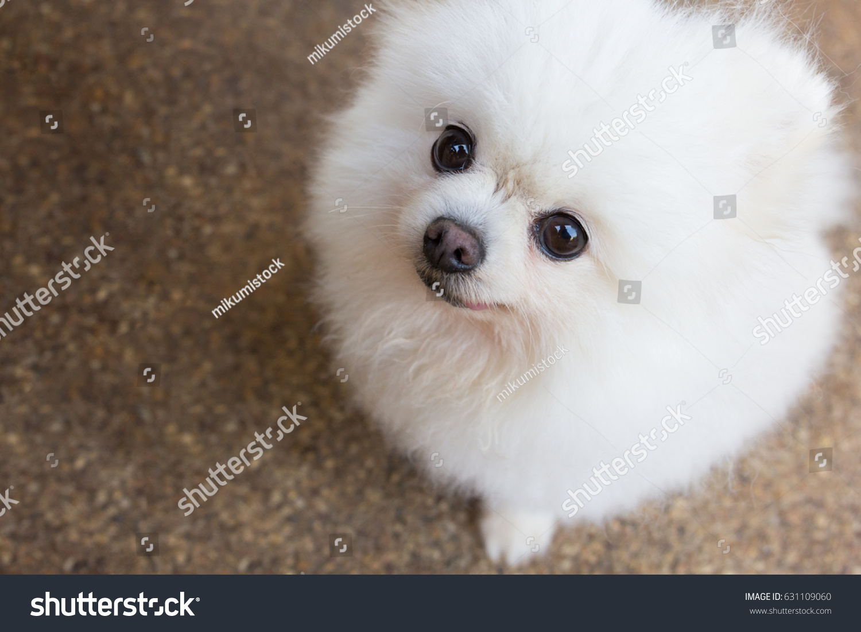 Beautiful White Pomeranian Dog Sitting On Stock Photo Edit Now