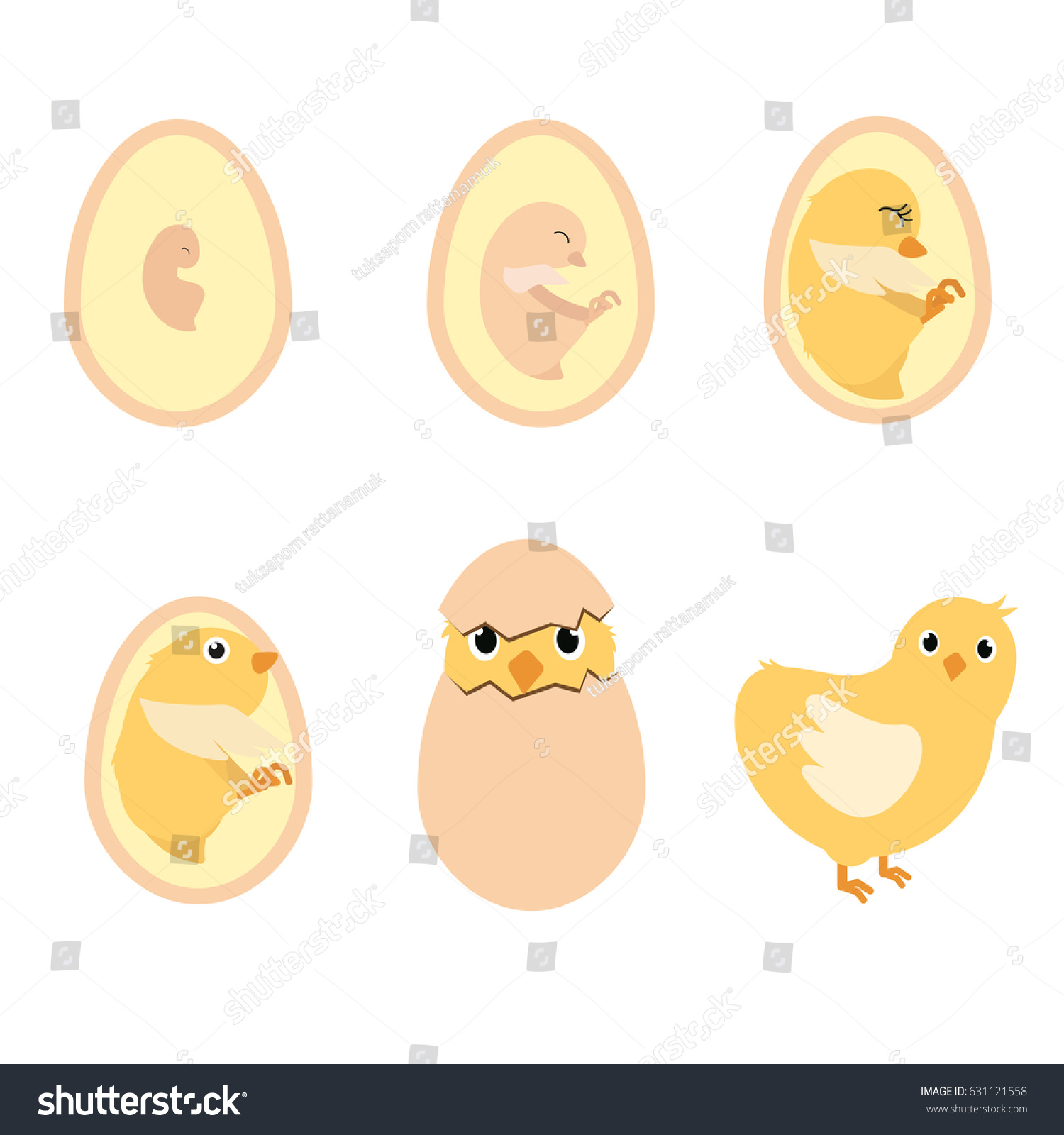Chicken Egg Life Cycle Anatomy Illustration Stock Vector (Royalty ...