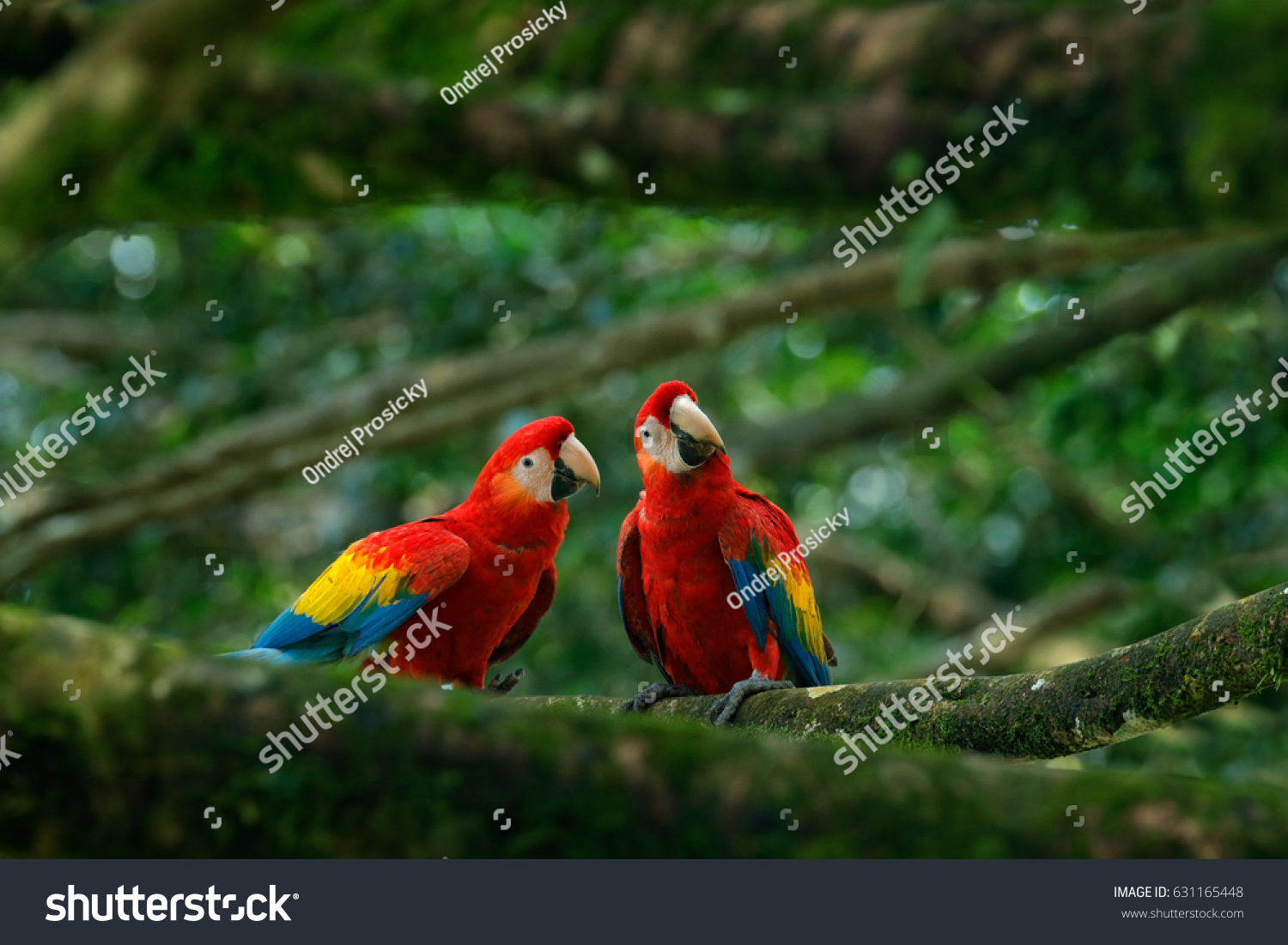 Pair Big Parrot Scarlet Macaw Ara Stock Photo 631165448 ...