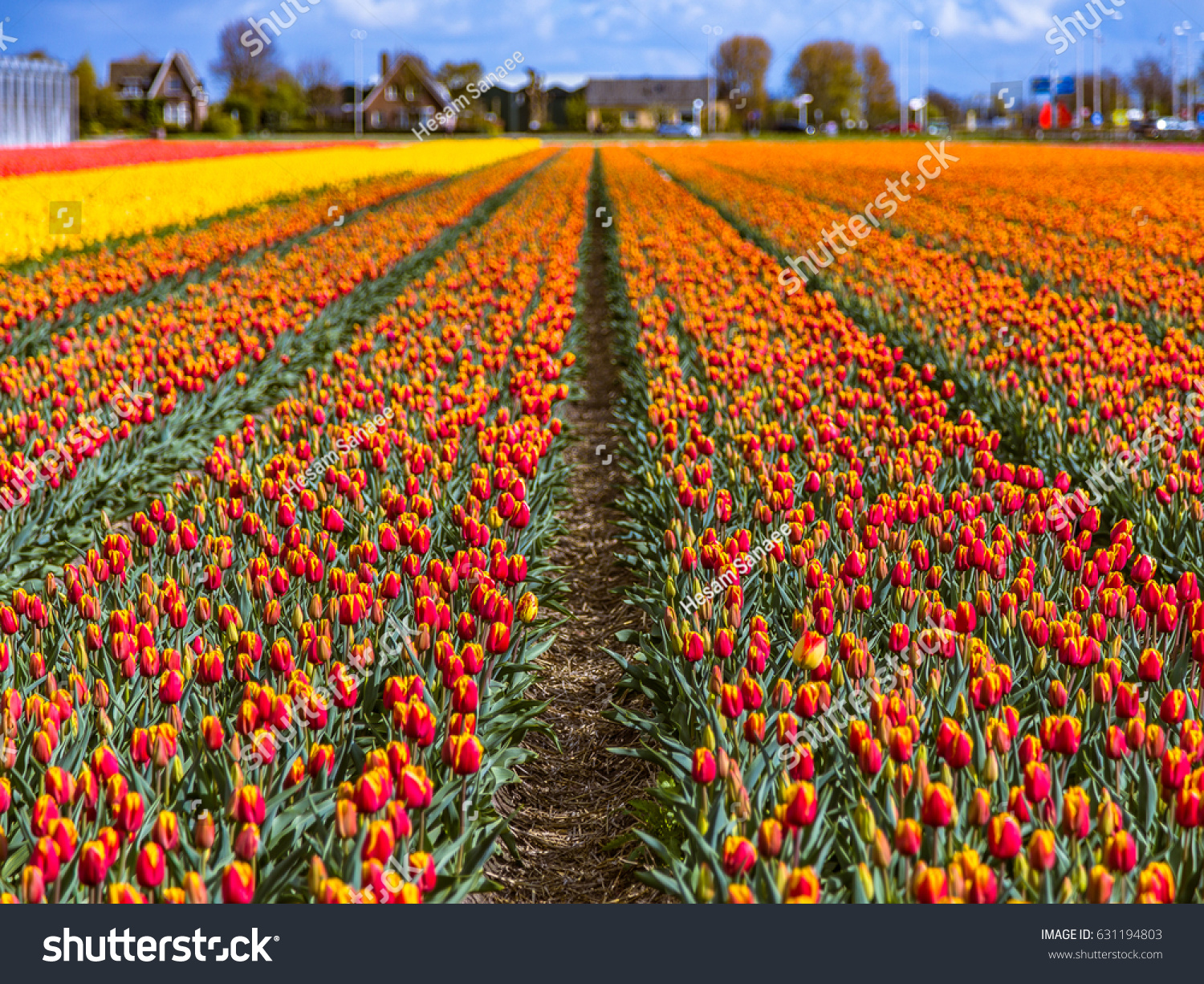 Beautiful Tulip Fields Lisse Netherlands This Stock Photo (Edit Now ...