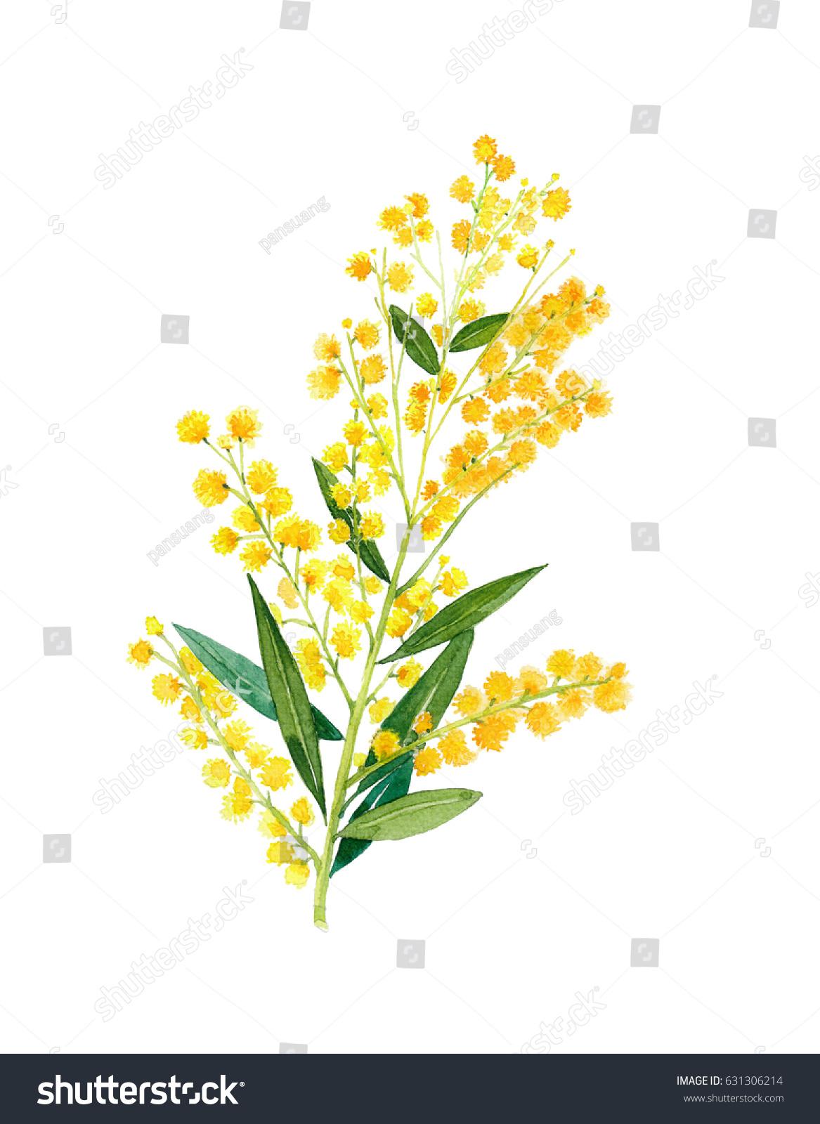 Golden Wattle Acacia Pycnantha Australias National Stock