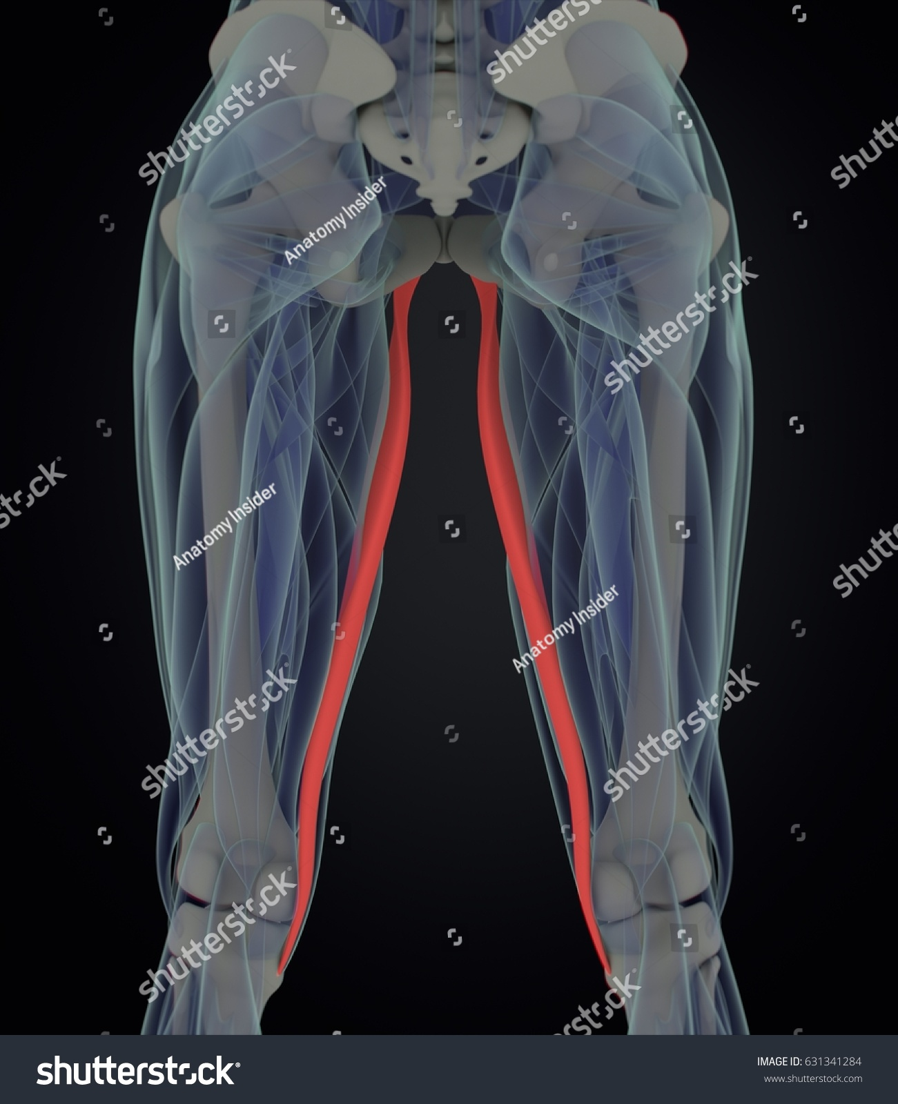 Gracilis Muscle Female Muscle Anatomy 3 D Stock Illustration