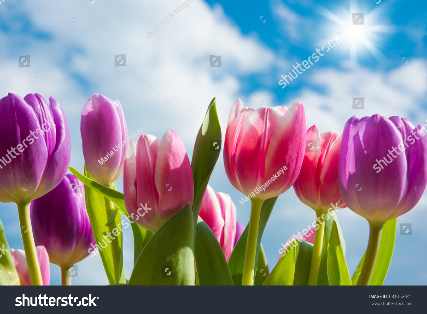 Beautiful Tulips Flowers Against Blue Sky Stock Photo Edit Now