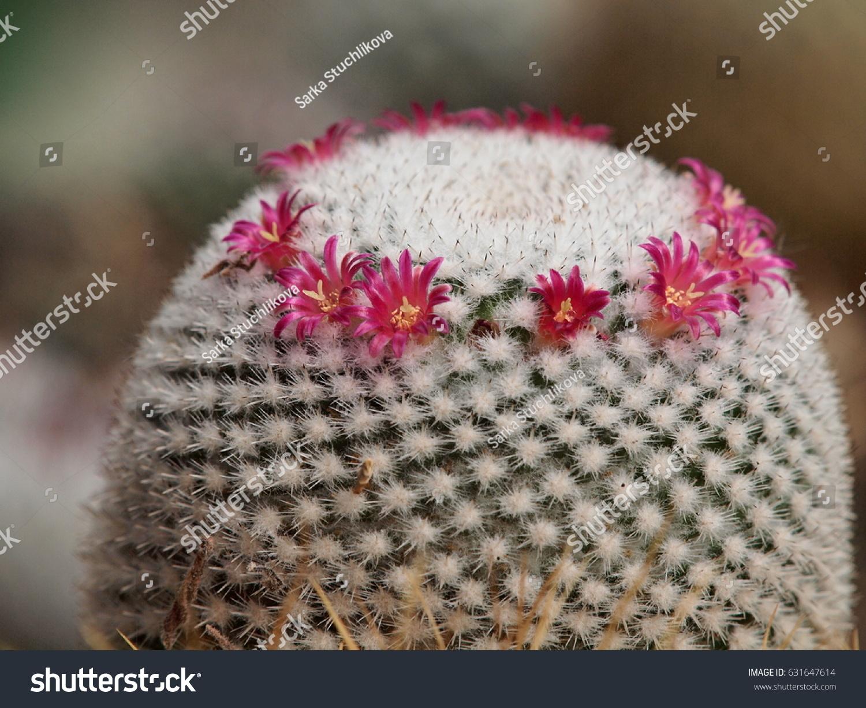 Pink Flowering Cactus Mammillaria White Thorns Stock Photo Royalty