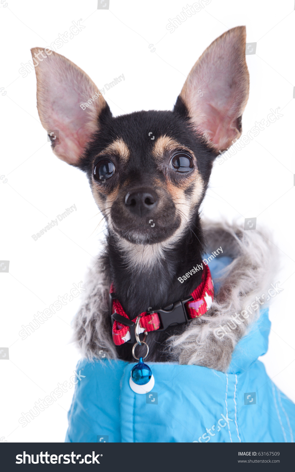 Toy Terrier Small Dogs : Small dog toy terrier jacket hood stock photo