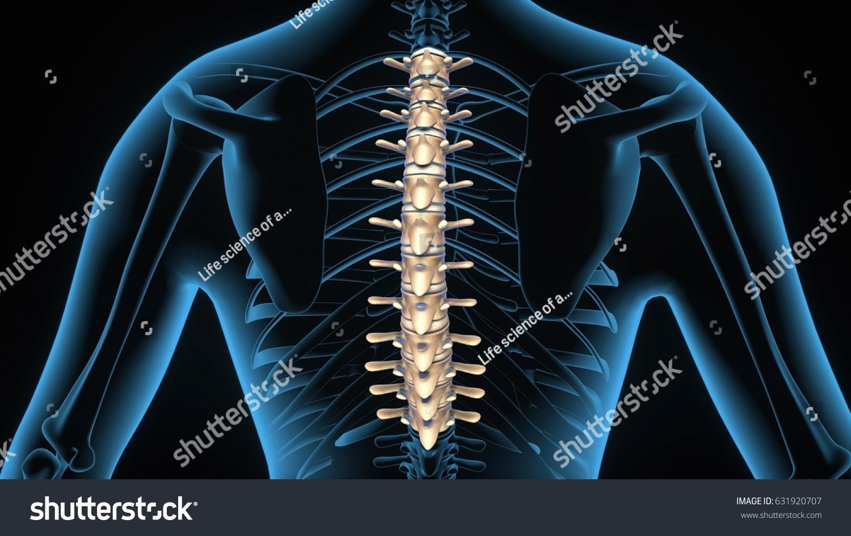 3d Illustration Of Human Body Thoracic Anatomy Ez Canvas