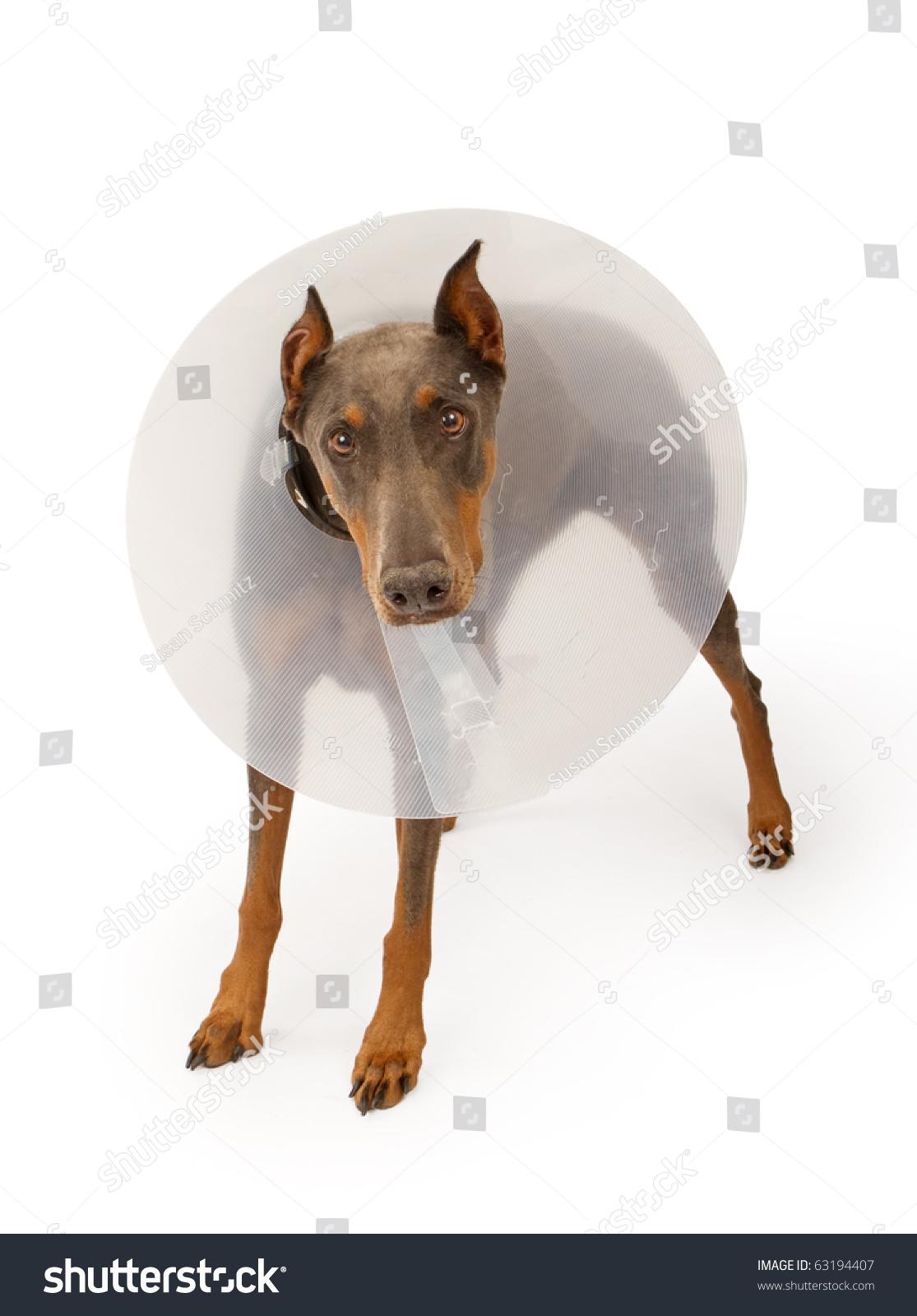 Blue Doberman Pinscher Dog Wearing Cone Stock Photo Edit Now 63194407