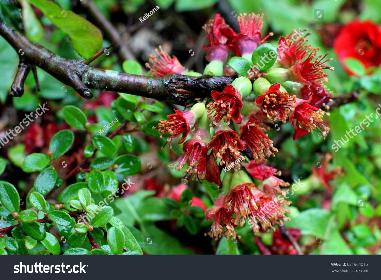 Crataegus monogyna plant ez canvas mightylinksfo