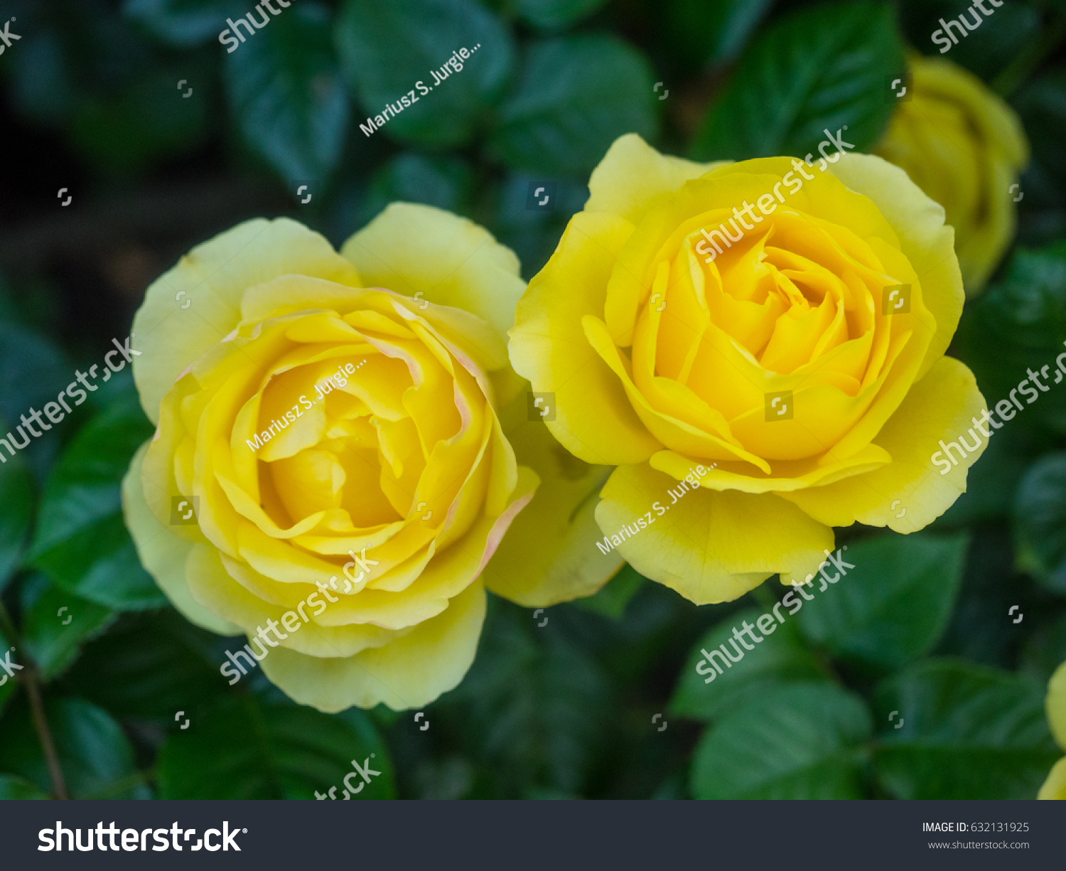 Beautiful yellow rose gardens - Beautiful Yellow Rose In A Garden On Sunny Day