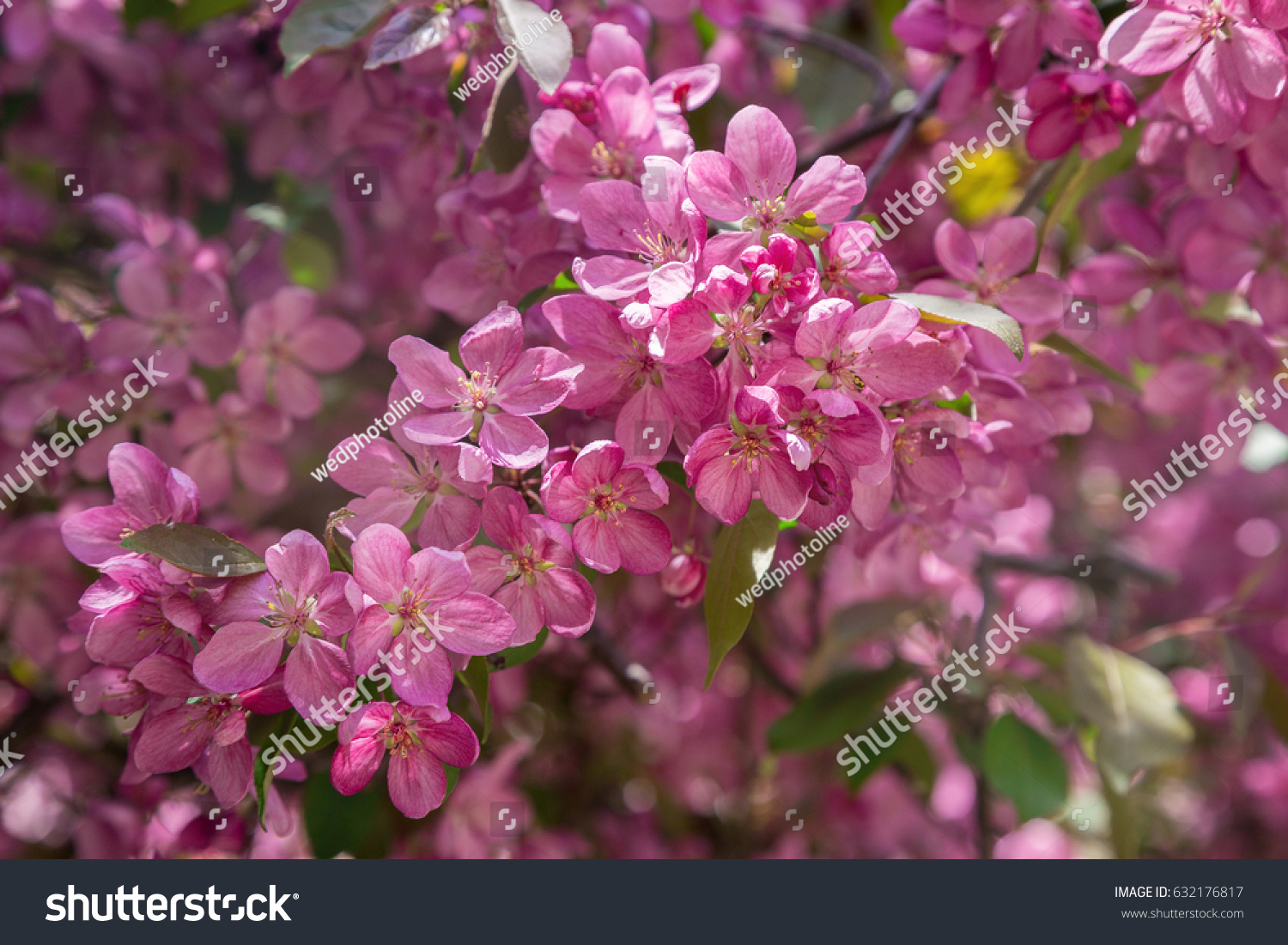 Pink Flowers On Branches Fruit Trees Stock Photo Edit Now