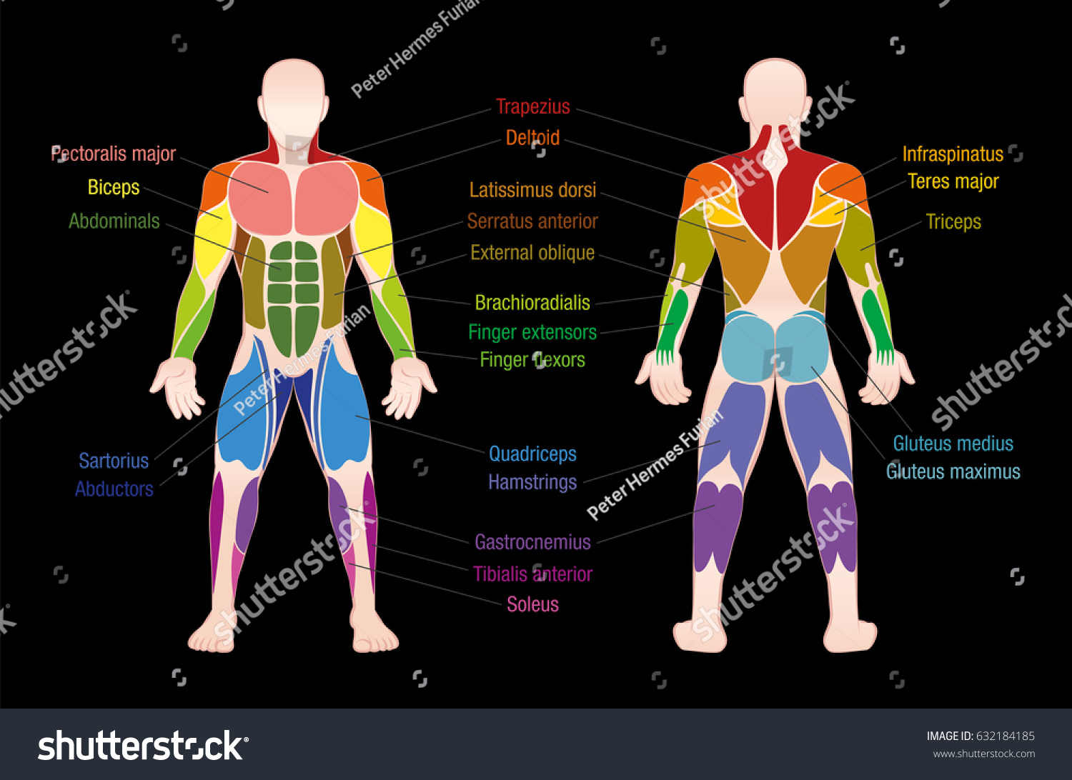 Muscle Chart Most Important Muscles Human Stock Vector Royalty Free