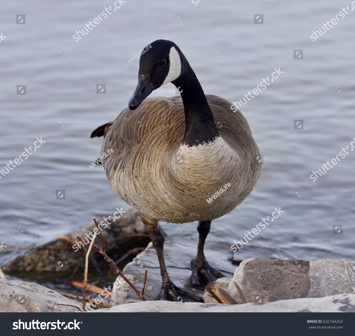 Beautiful Background Cute Canada Goose Stock Photo Royalty Free