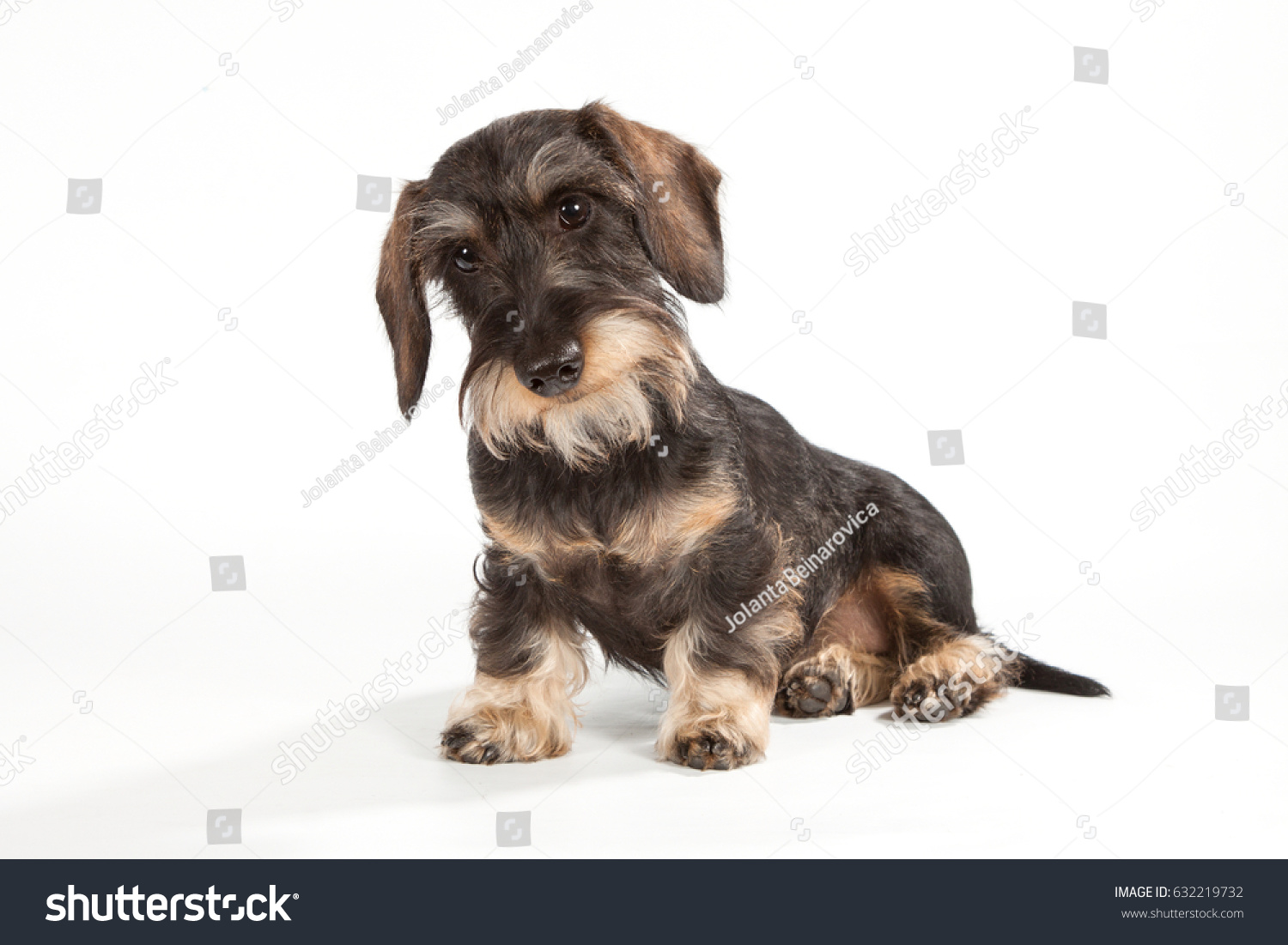 Portrait Wirehaired Dachshund Brown Color Sits Stock Photo (Royalty ...