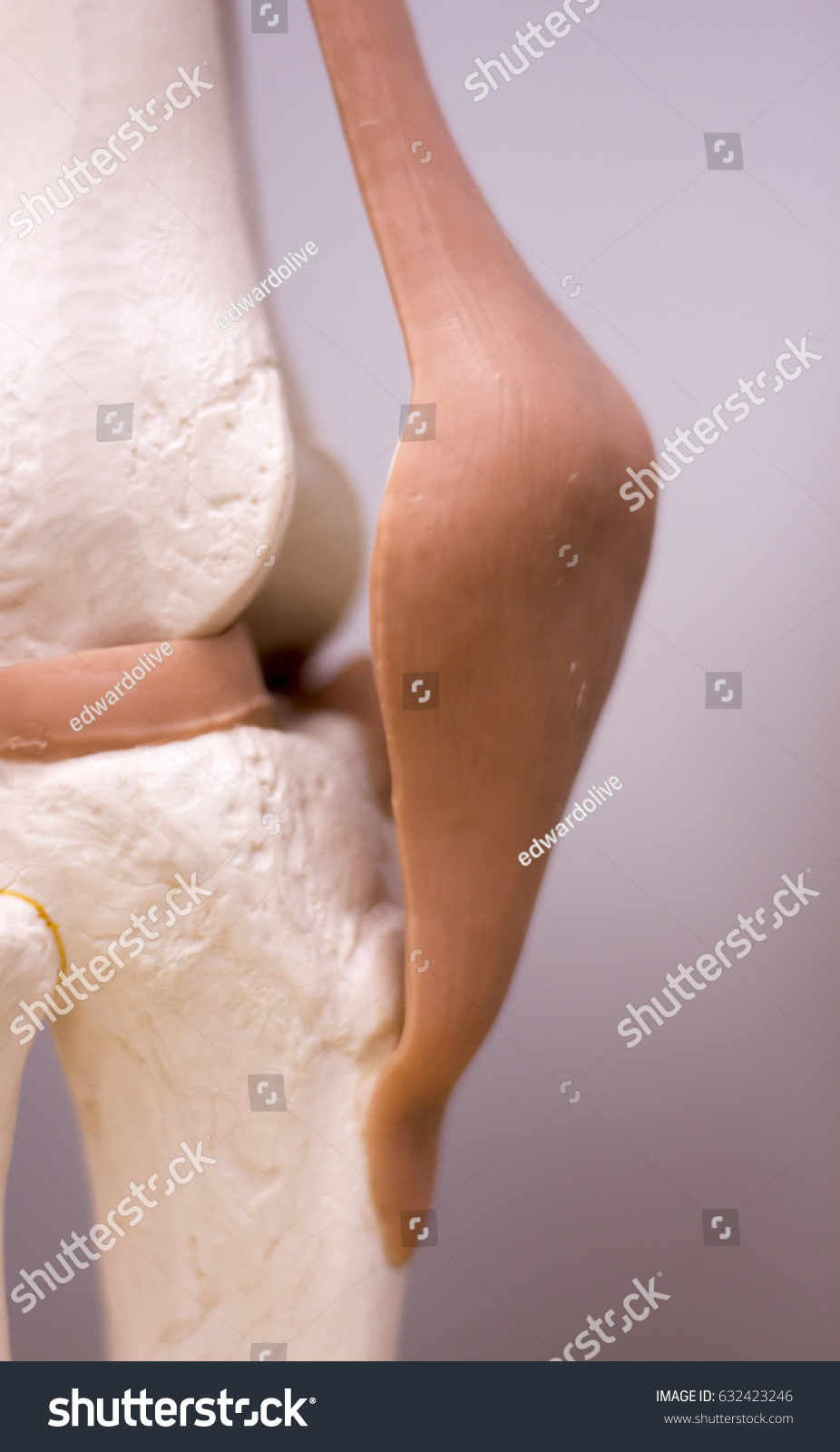 Knee Meniscus Medical Study Student Anatomy Stock Photo Edit Now