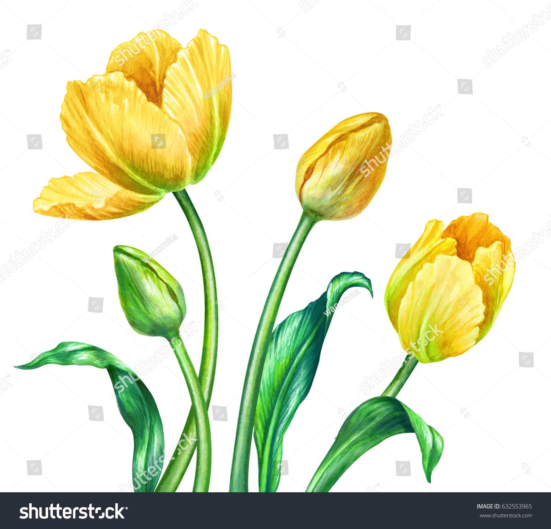 Watercolor Illustration Yellow Tulips Botanical Art Stock