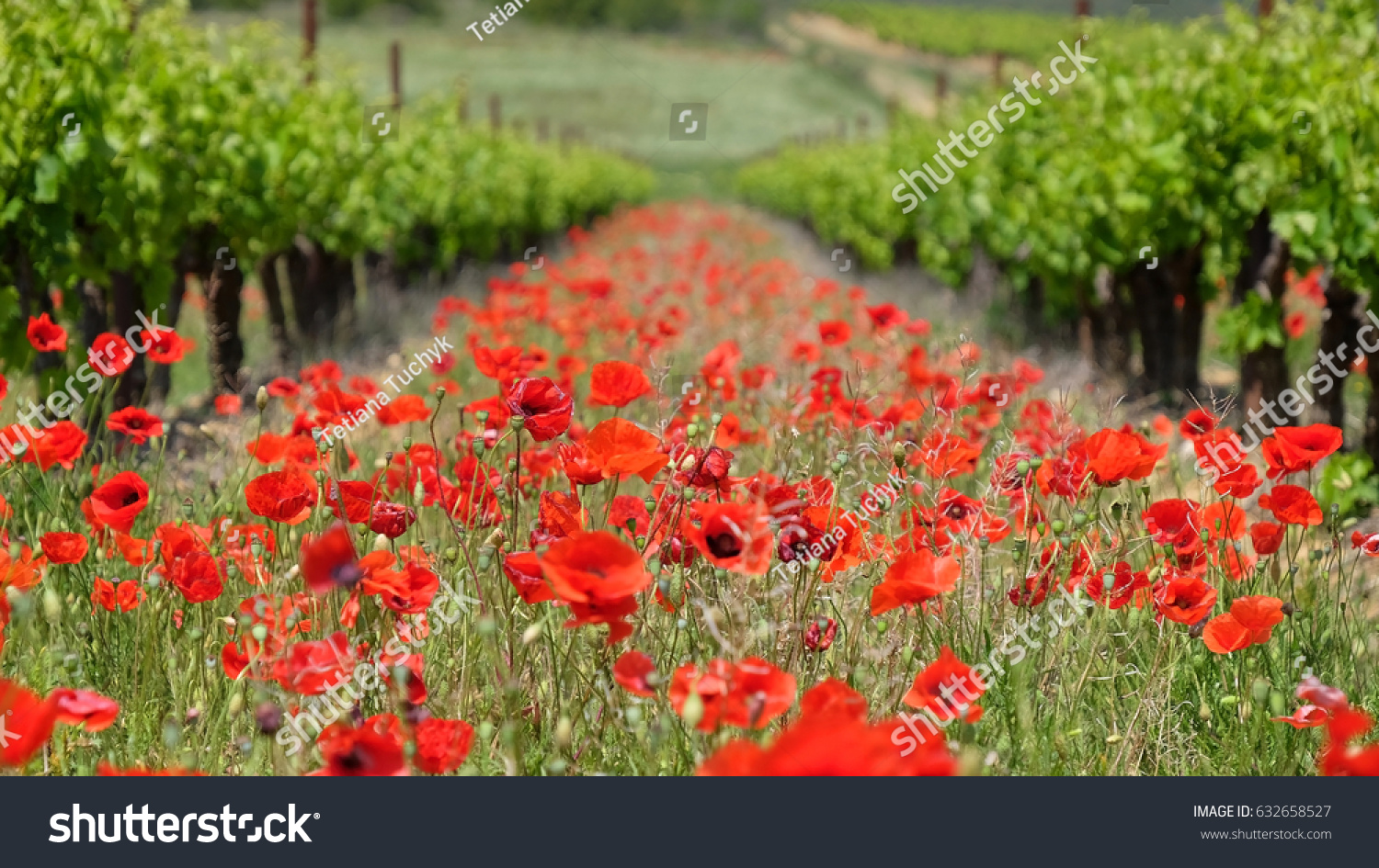 Growing grapes poppies french vineyard stock photo edit now growing grapes and poppies in a french vineyard mightylinksfo