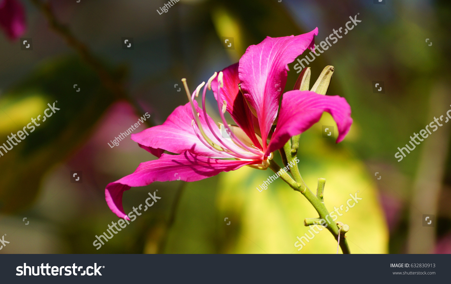 Tropical lily flower in haiti ez canvas id 632830913 izmirmasajfo