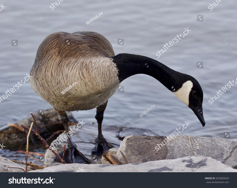 Beautiful background cute canada goose stock photo 632903543 beautiful background with a cute canada goose biocorpaavc