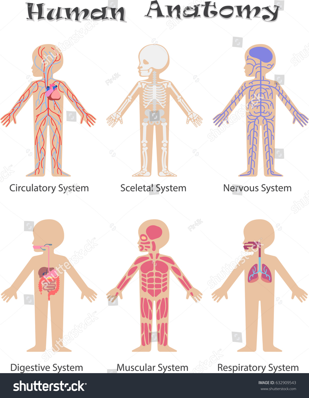 Human Anatomy Kids Circulatory Sceletal Nervous Stock Illustration