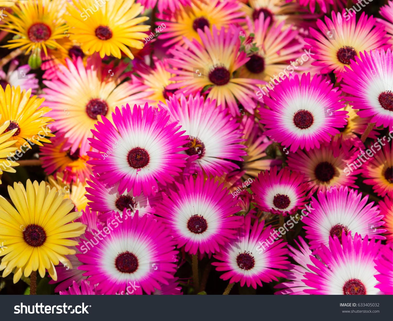 Colorful Flowers Livingstone Daisy Garden Yokohama Stock Photo Edit