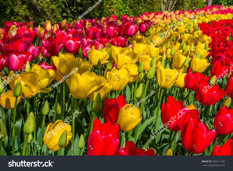 Beautiful tulips spring variety spring flowers stock photo edit now beautiful tulips in the spring a variety of spring flowers blooming in the beautiful garden izmirmasajfo