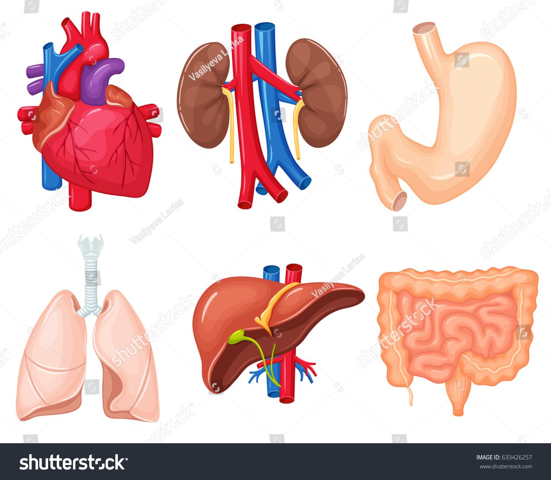 Human Organs Anatomy Heart Lungs Kidney Stockillustration 633426257