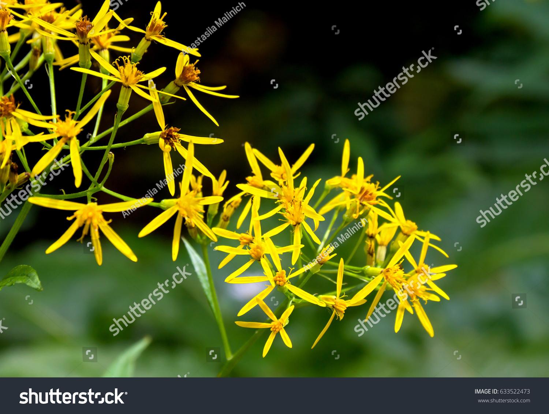 Yellow Flowers Senecio Ovatus Common Names Stock Photo Royalty Free