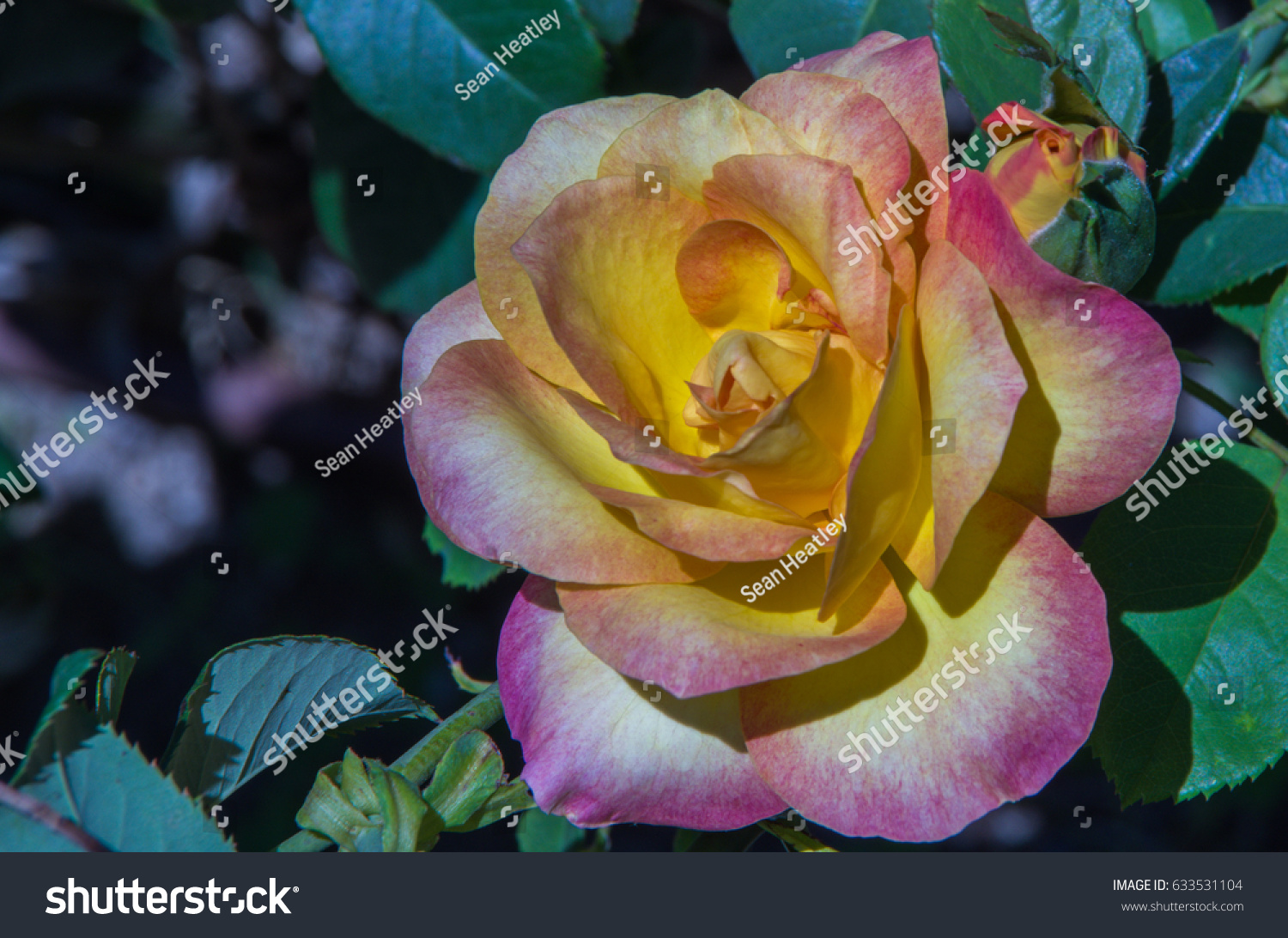 Beautiful Rose Flower Which One Most Stock Photo Edit Now