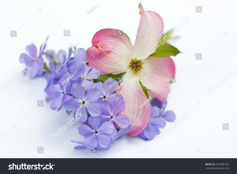 Blue moon flowers on white background stock photo edit now blue moon flowers on white background izmirmasajfo