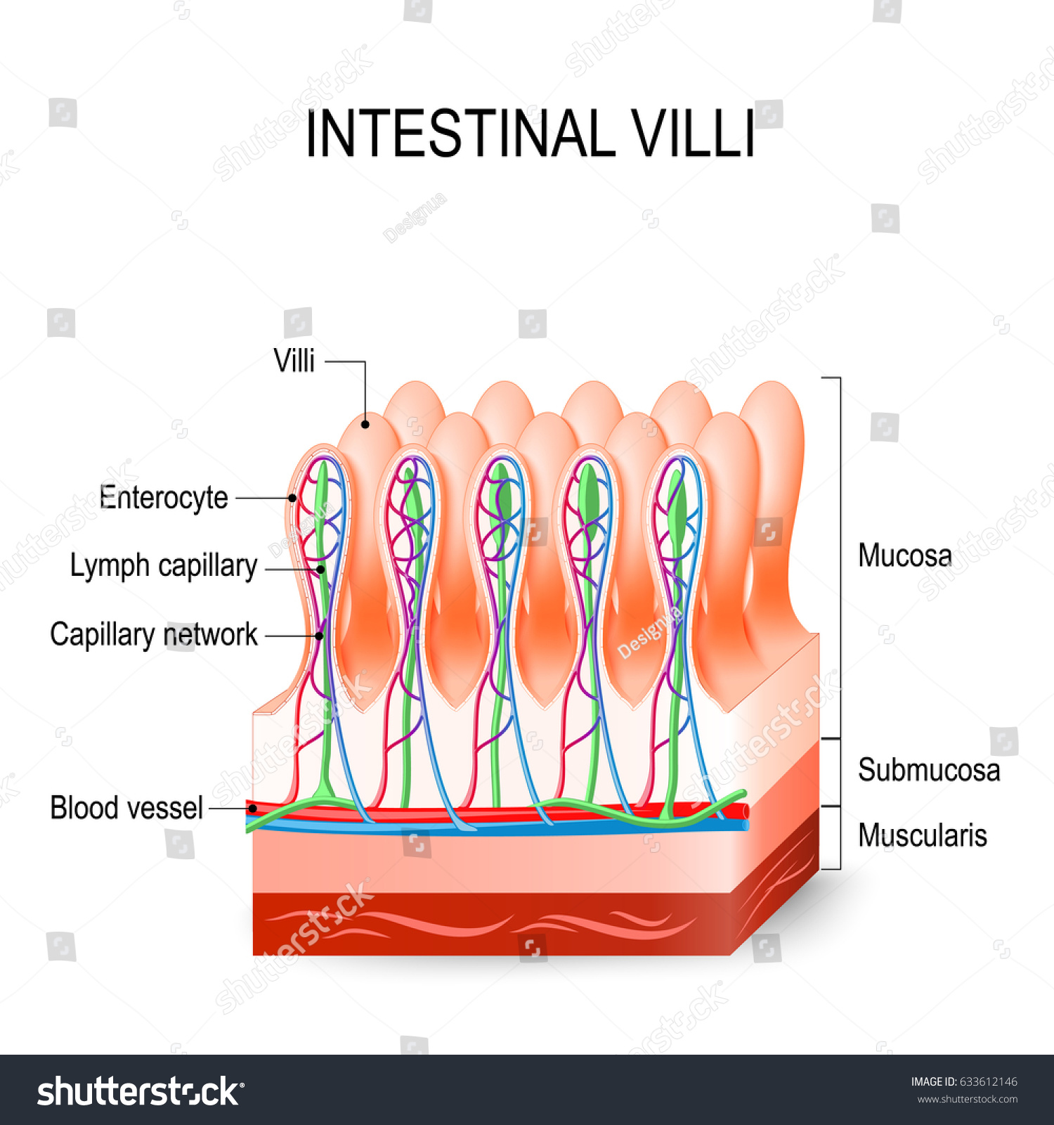 Intestinal Villi Small Intestine Showing Arteries Stock Vector ...